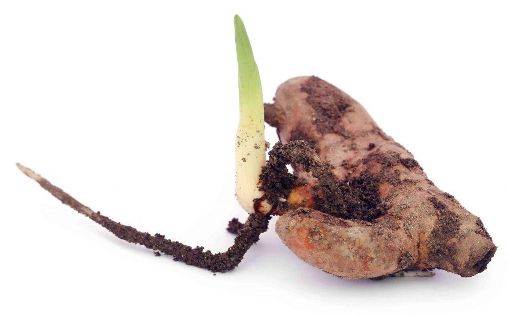 plantes de curcuma
